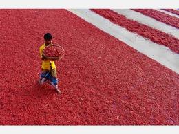 孟加拉红辣椒大丰收 晒场似红毯极其壮观